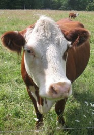 Friendly Heifer